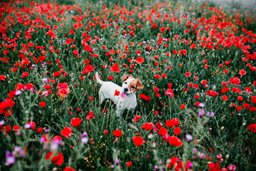 portrait outdoors of a beautiful jack russell standing in a poppy field at sunset. Spring concept