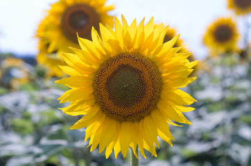 Wall Mural - Lone sunflower in the sunflower field