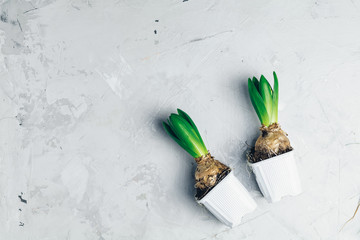 Two hyacinths in pots on light gray concrete table surface