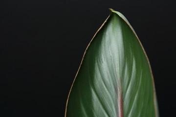 single tropical lush green leaf against a black background
