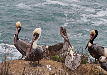 Flock of Brown Pelicans Standing on Rocks Along the Surf