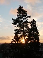 Kiefernbaum vor Abendrot