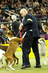 A Boxer dog is pictured after winning the Working group at the 143rd Westminster Kennel Club Dog Show in New York City, New York