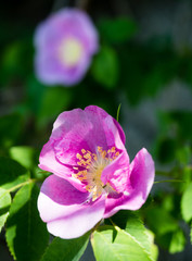 Two blooming wild Nootka roses background