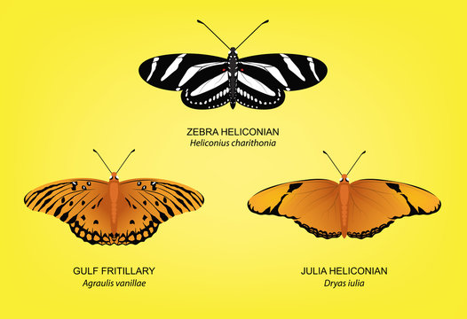 Butterfly Zebra Heliconian Set Vector Illustration