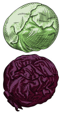 Useful vegetables. Cabbage white and red on a white background.  Detailed drawing by hand.