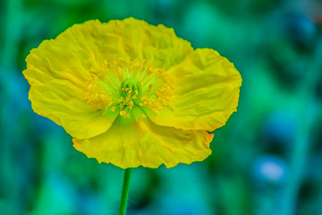 Beautiful yellow Stylophorum diphyllum (celandine-poppy, wood poppy, poppywort) flower on green background in the morning garden. Yellow Welsh poppy (Meconopsis cambrica) flower in the nature.