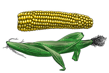 Useful vegetables. Two cobs of corn on a white background. One cob with leaves, the other peeled. Detailed drawing by hand.