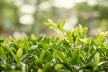 Ficus annulata