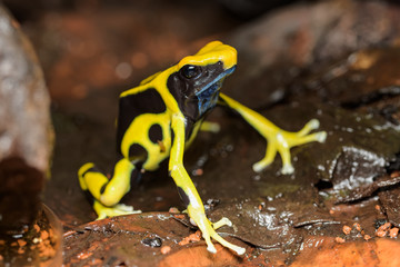 Dyeing poison dart frog in the jungle