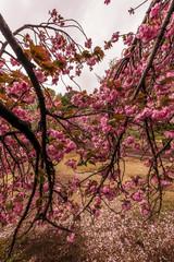 tree in blossom, Tokyo, Japan