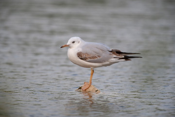 Slender-billed Gull Birds