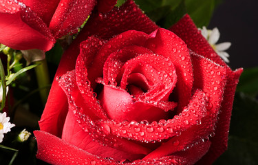 Macro closed up bouquet red rose with dropslets on petal surface