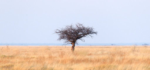 Thorn tree in the middle of the Kalahari