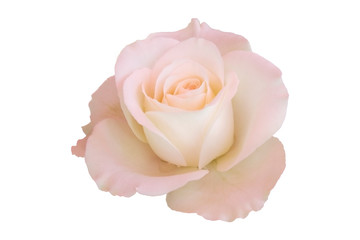 Sweet roses isolated on white with clipping path.