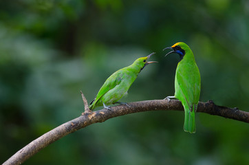 Golden-fronted leafbird on the branch
