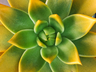 Decorative succulent plant (succulent cactus) at the garden