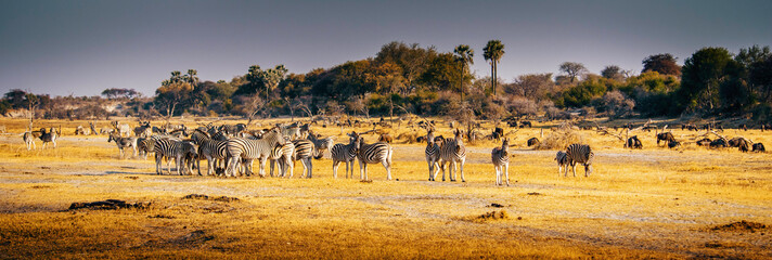 Panorama - Eine Herde Zebras in der Abendsonne, Makgadikgadi Pans Nationalpark, Botswana
