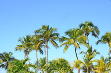 Cocos nucifera coconut palm tree tops and crowns against clear blue sky in a tropical location. Tropical palm trees around the pool area of a holiday resort hotel.