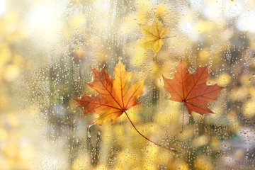 wet window with drops after rain and three maple leaves . golden autumn