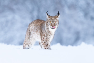 Wall Murals Lynx Young Eurasian lynx on snow. Amazing animal, running freely on snow covered meadow on cold day. Beautiful natural shot in original and natural location. Cute cub yet dangerous and endangered predator.