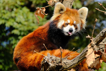 Wall Murals Panda red panda