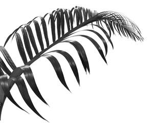 black leaf of palm isolated on white background