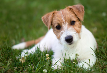 Healthy pet concept - happy jack russell puppy dog looking in the grass