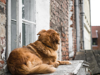 A beautiful dog is waiting, looking for owner alone who come back home at a window next to street in a city.