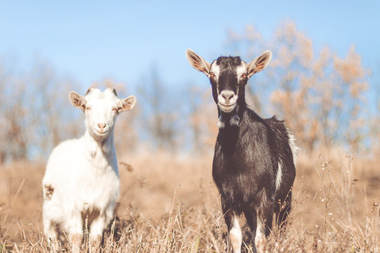 Goat in field. Goats eating grass,Goat on a pasture, Little goat portrait