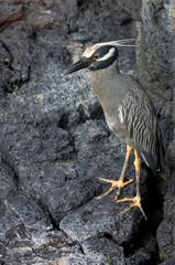 Yellow Crowned Night Heron - Galapagos Islands - Ecuador