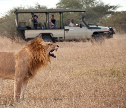 Tourists on Safari viewing a lion  - Botswana