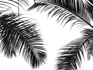 Poster Palmier beautiful palms leaf on white background