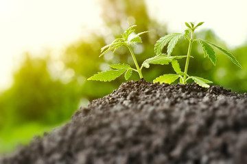 Growing natural premium marijuana with seedlings from.soil for the production of cannabis essential oil in medicinal preparations - CBD oil, cannabidiol