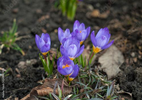View Of Magic Blooming Spring Flowers Crocus Growing In Wildlife