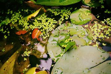 seerose, teich, wassser, biotop, natur, blüte, schönheit, nahaufnahme