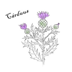 Figure black and white thistle,Carduus flower, field of grass on a white background. Vector