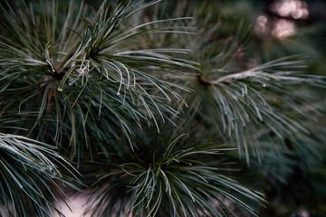 Pinus strobus nivea - Weymouth-Kiefer, Weymouthskiefer, Strobe, Eastern White Pine