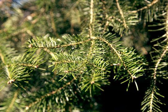 Abies concolor - Kolorado-Tanne