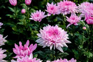 Beautiful pink chrysanthemum