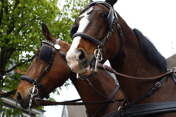 Two brown horses of a wedding carriage