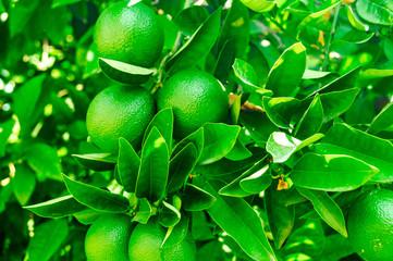 Green foliage and orange tree fruit