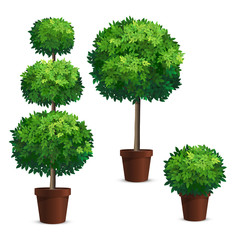 Set of topiary trees in a pots. Plants for garden design.