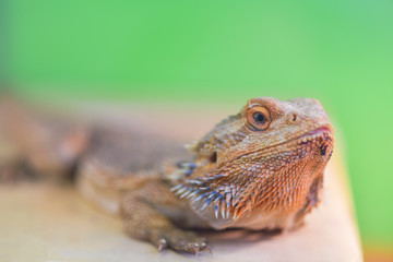 Pogona vitticeps,  Pogona barbata.Proud Bearded Agama sits on a stand on a green background in a terrarium close - up of the neck and head of a lizard..