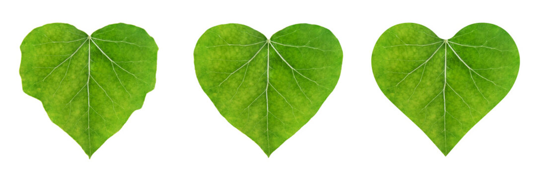 heart shape leaf, set of ivy leaves isolated on white background (eco-friendly concept)
