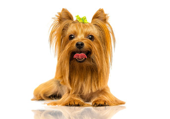 Fototapete - yorkshire terrier dog looks up on a white background