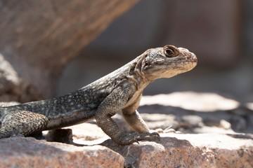 Vierfleck-Madagaskarleguan