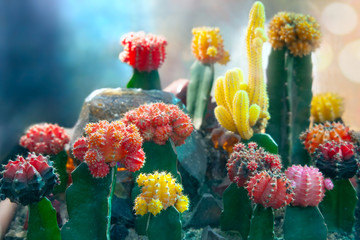 Moon Cactus or Gymnocalycium mihanovichii, the Mutant Cactus Grafted on to Hylocereus Rootstock Wall mural