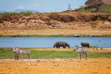 Zebras and hippopotamus stand near the lake
