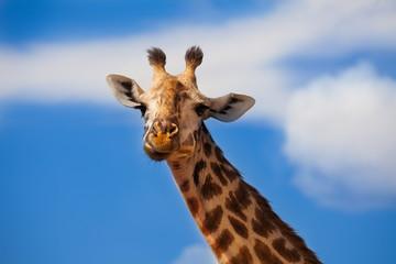 Large close photo of giraffe head over blue sky